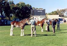 Clydesdale foals